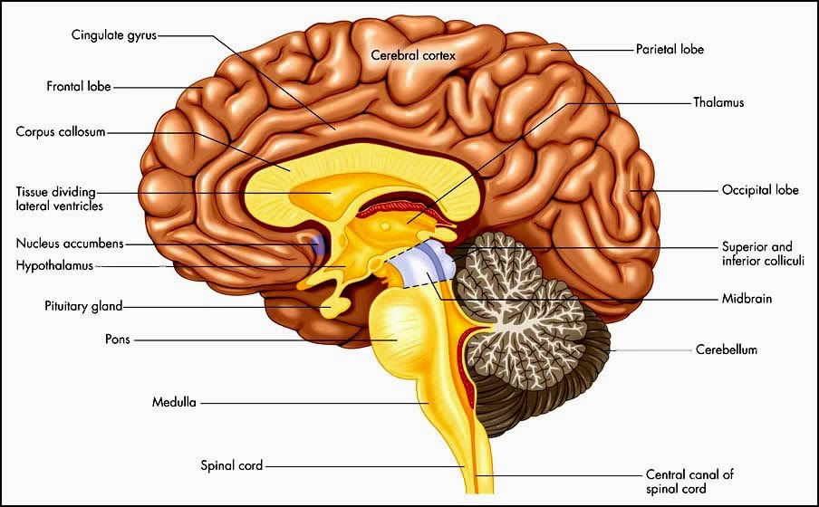 cerebrum diagram anatomy picture reference and health news : cerebrum diagram - findchart.co