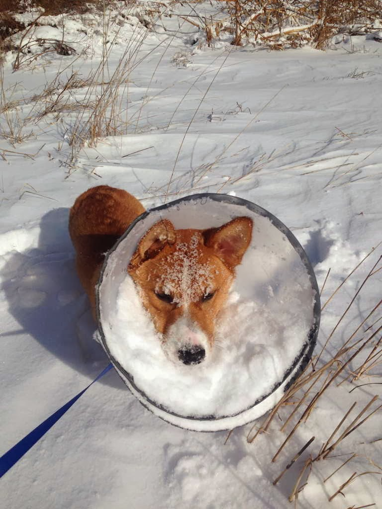 Cute dogs - part 3 (50 pics), corgi wears cone of shame full of snow