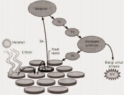 Pengertian, Fungsi dan Proses Terjadinya Fotosintesis