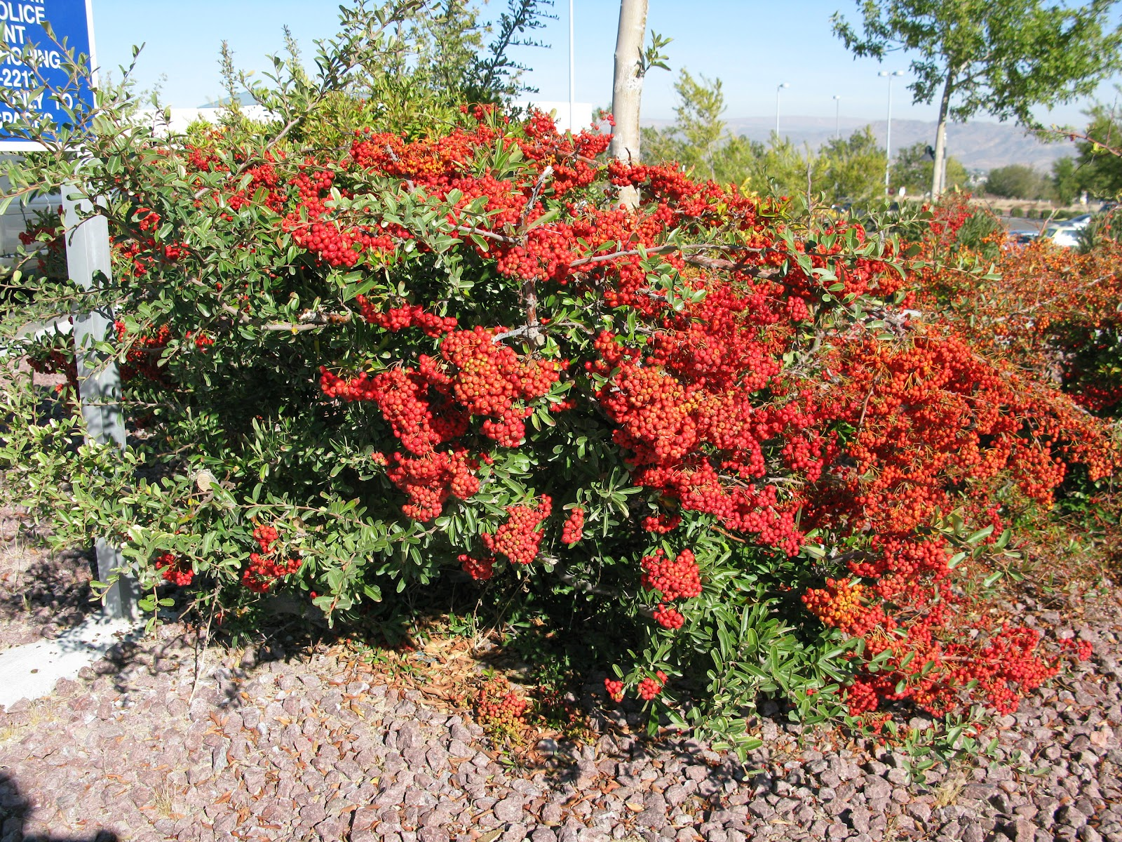 Roadrunners And Figgy Pudding Whatz That Barstow Evergreen Shrubs
