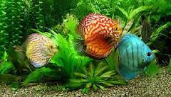 Los peces también pueden sentir sed