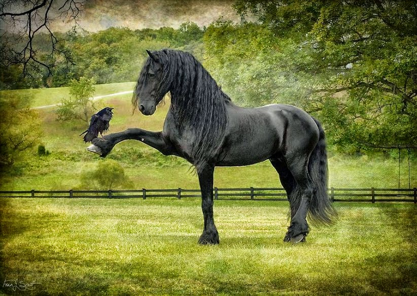 caballos-negros-con-plumas-en-las-patas
