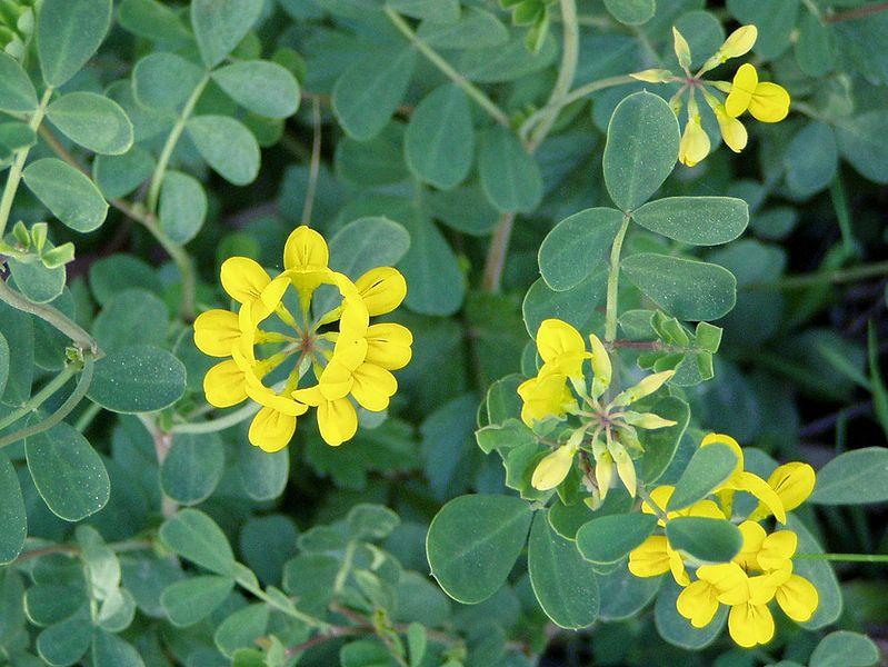 glauca ) es un arbusto pequeño de la familia de las leguminosas