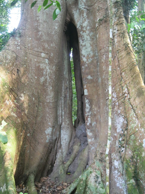 Big tree of Phukhieo Wildlife Sanctuary