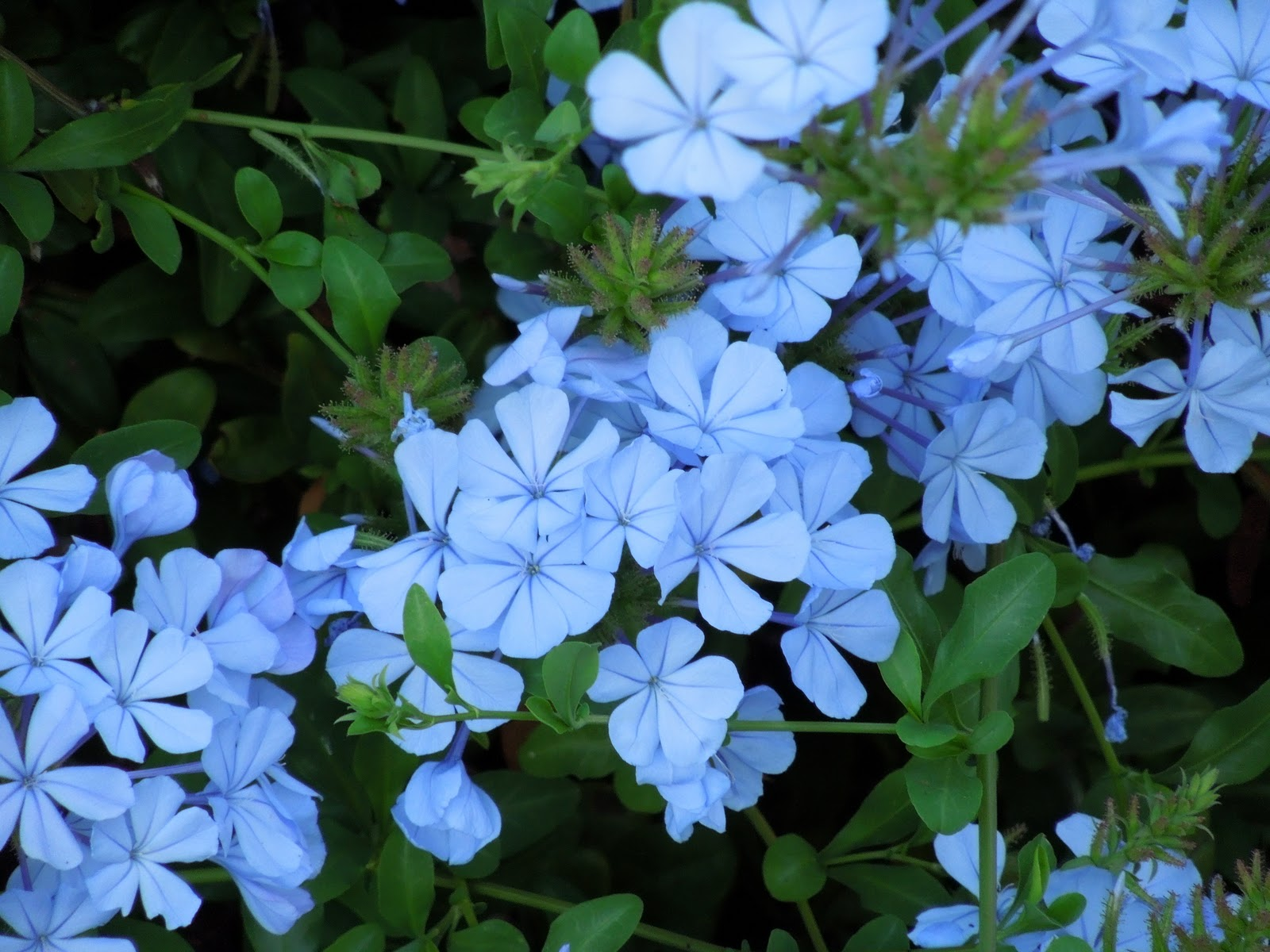 SimpleRNA Photo Beautiful Blue Flowers