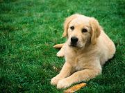 Animales domesticos. El perro labrador es un perro muy hermoso (perros labrador )