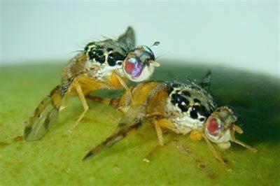 Israelenses esterilizam moscas com radiação nuclear