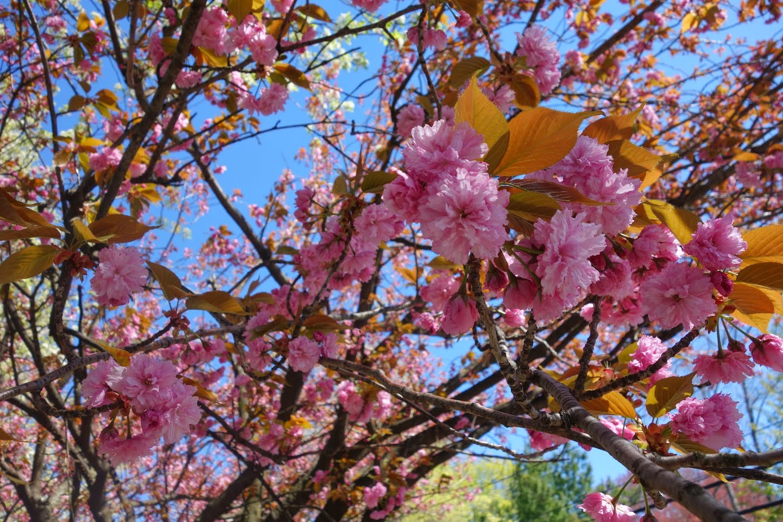 Beautiful Cherry Blossoms, Spring 2014
