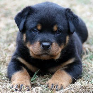 German Rottweiler Puppies Pictures