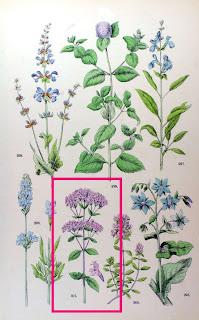 Oregano, Origanum vulgare