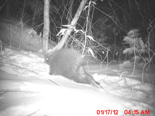 Porcupine Dens in my Yard Confirmed by Trailcam