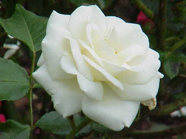 Imagens De Rosas Brancas~ Flores Jardim Do Mar
