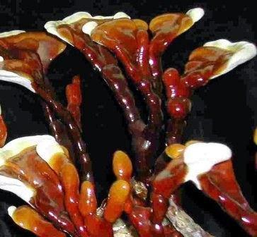 Thực phẩm chức năng Mycelium Ganoderma Lucidum Organo Gold Nấm linh chi đỏ