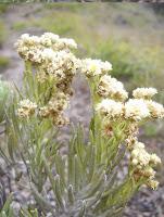 Edelweis, Bunga Keabadian yang Hampir Punah