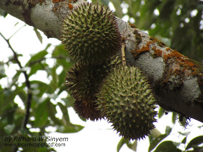 Durian - King of Tropical Fruits