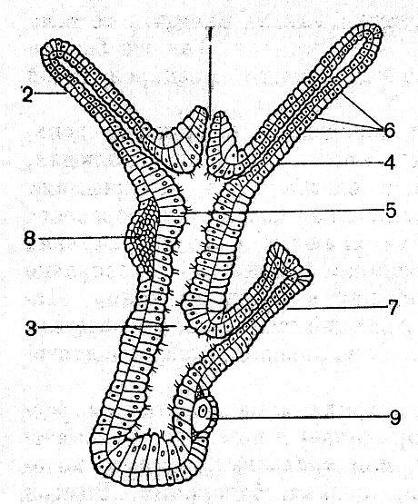 разрез тела гидры (схема):