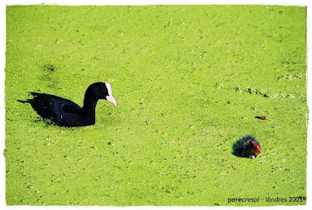 ocells a londres (estiu 2005)