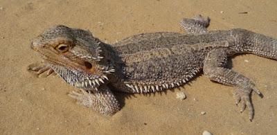 Cientistas australianos observam mudança de sexo em lagartos