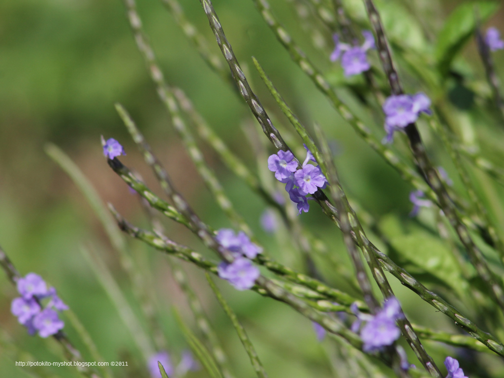 dissertation about blue porterweed