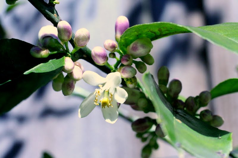 Meyer Lemon tree buds