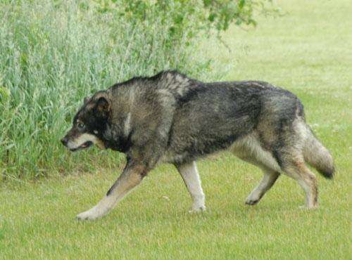 Wolf Hybrid dog