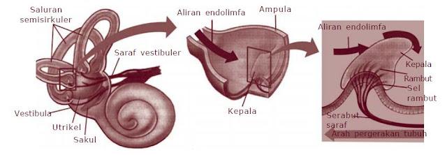Alat Keseimbangan pada Telinga