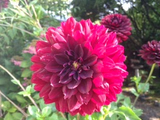 'Black Widow' Dahlia
