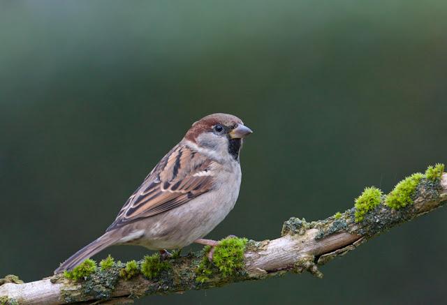 Ringmus (Passer montanus, Eurasian tree sparrow)