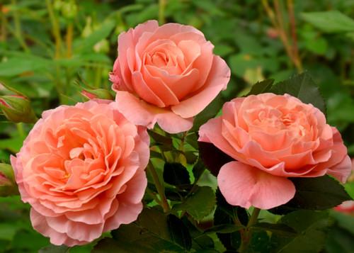 Marie Curie rose сорт розы фото