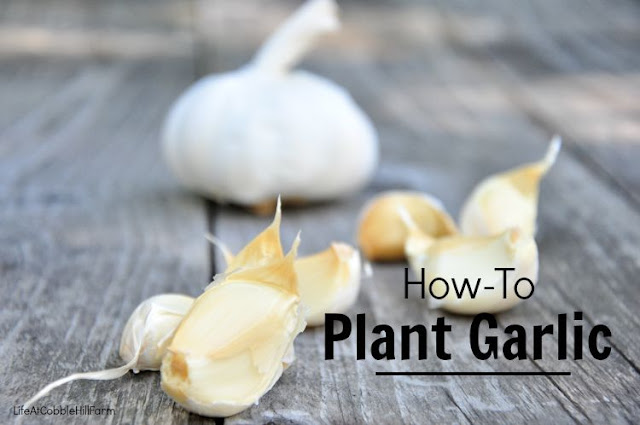Planting Garlic In The Fall Garden