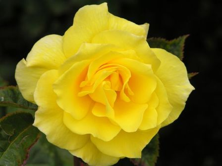 yellow roses pictures. power of a yellow rose.