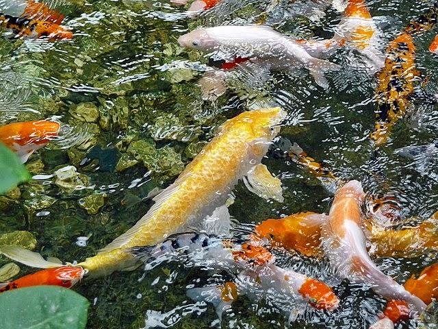 Hal penting sebelum membuat kolam ikan koi akuarium ikan for Koi 1 utama