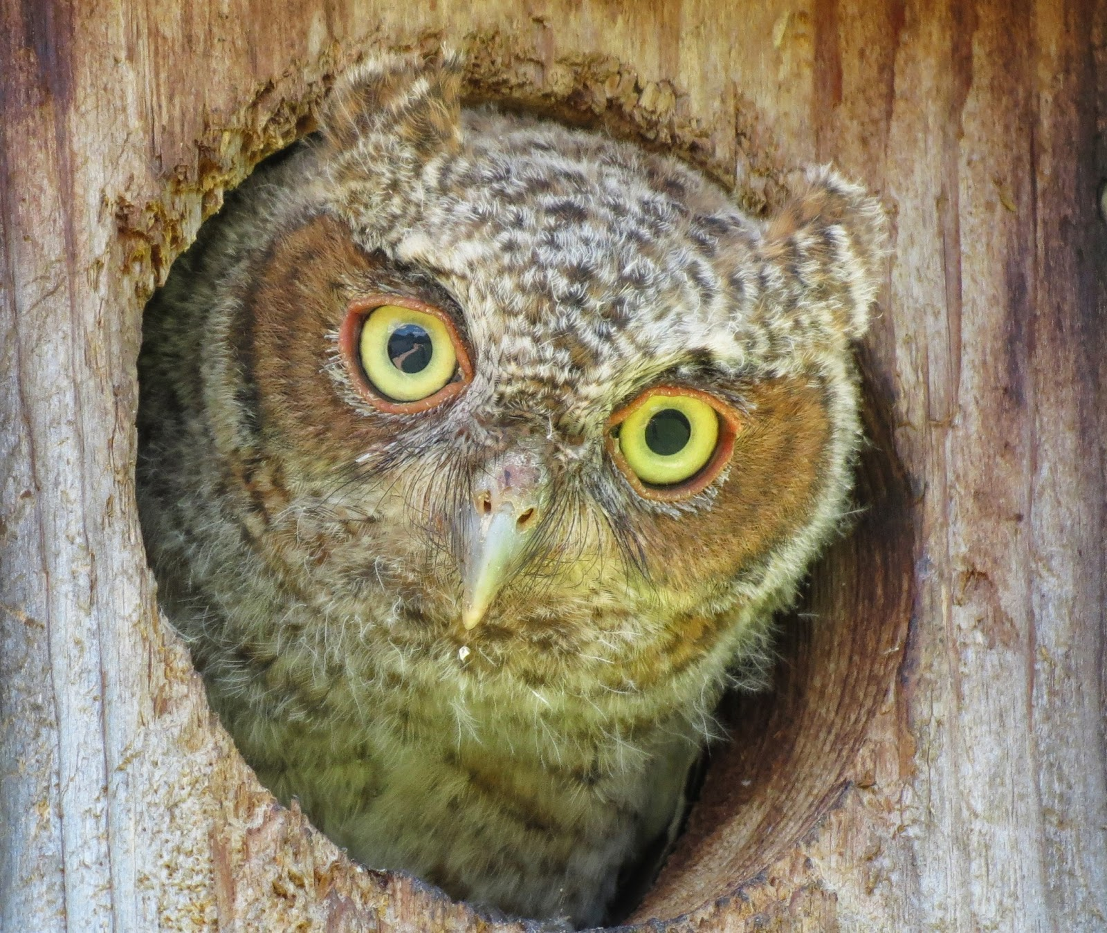 backyard birding and nature florida screech owl cam may 2nd