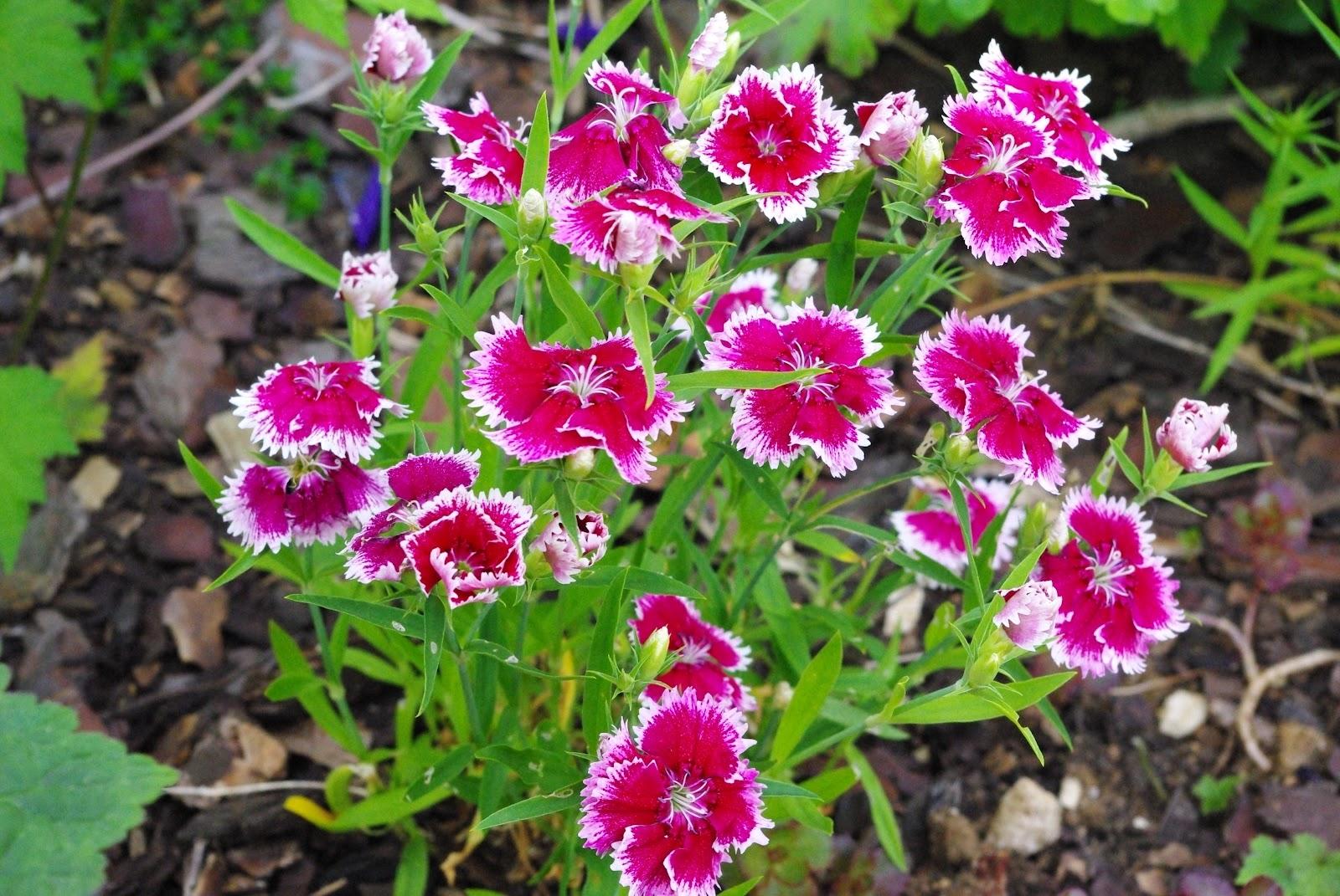 Promenade au jardin de lili dans le poitou oeillet de chine - Oeillet de chine ...