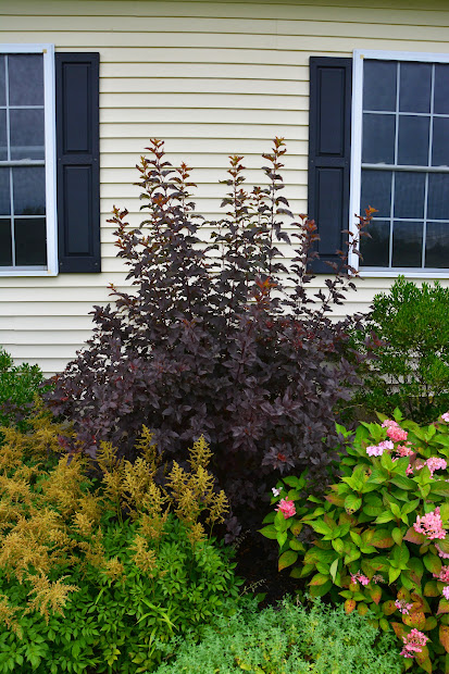 pruning ninebark 'diablo'