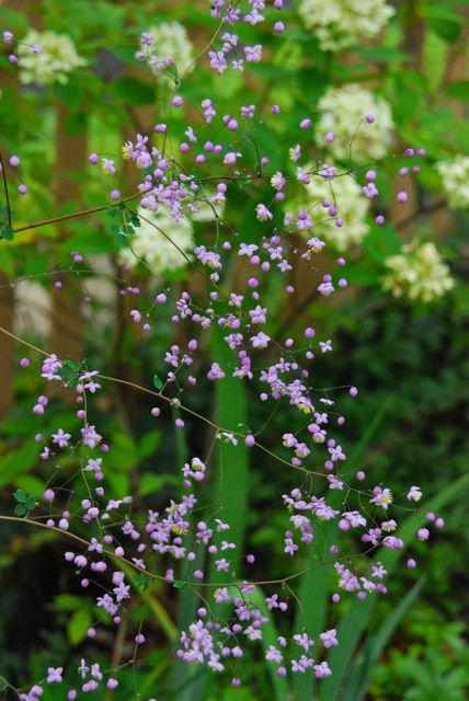 Along the back fence is one more gem, purple meadow rue (Thalictrum delavayi 'Splendide'), blooming along with Hydrangea 'Limelight'.