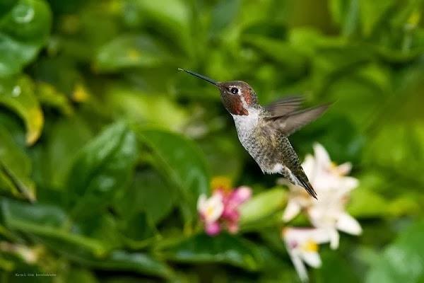ترفرف طيور آنا الطنَّانةَ أجنحتَها 50 مرة فى الثانية بشكل مدهش. وهى سريعةُ بما فيه الكفاية لا تستطيع عينُ الإنسان إداراكها