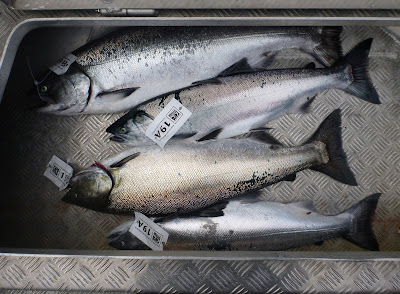 Chinook and Coho in the Fish Hold with Tags Identifying Who the Fish Belongs To