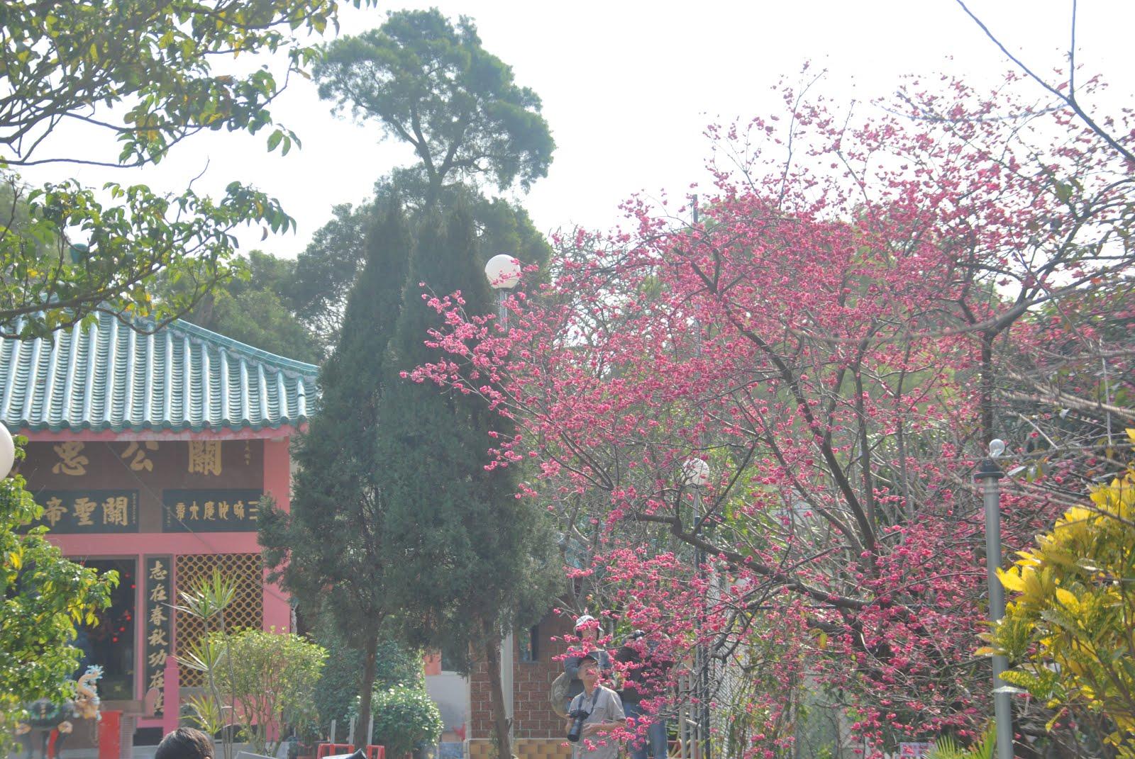 Cherry Blossom @Cheung Chau 長洲櫻花樹下