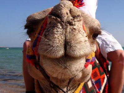 Foto Camello en primer plano