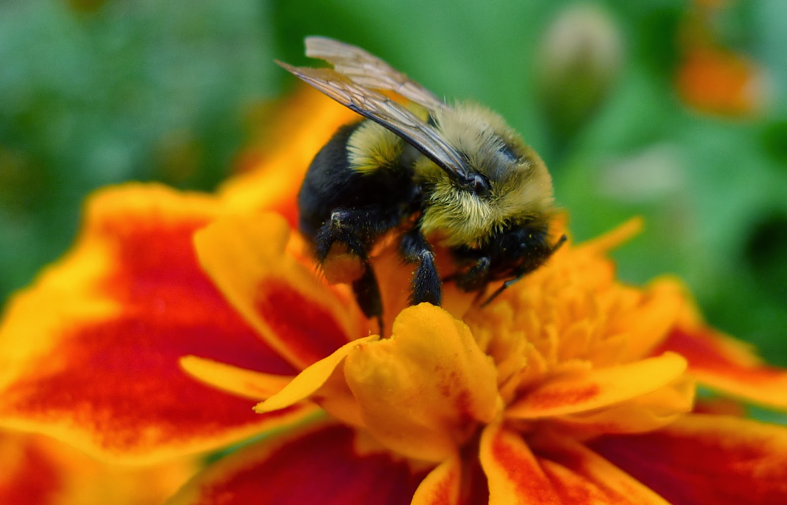 urban bees, flowers to attract bees