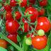 Berbagai Manfaat dan Nutrisi Tomat