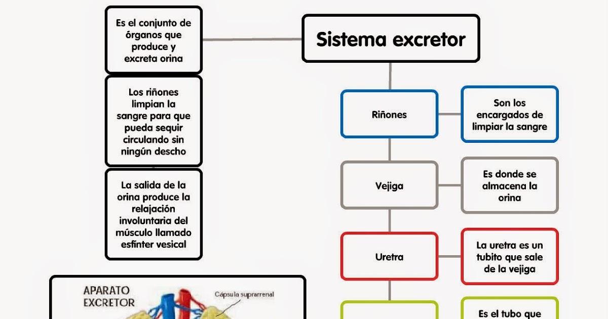 PABLO BLOG: Sistema excretor