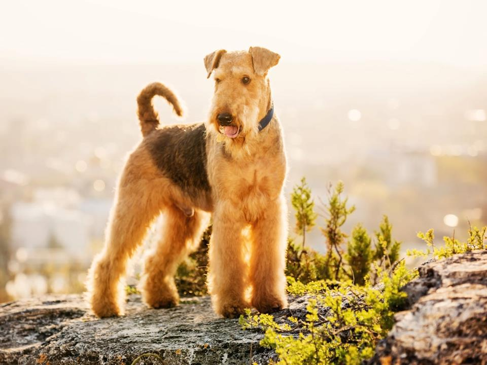 Airedale Terrier puppy standing on ground