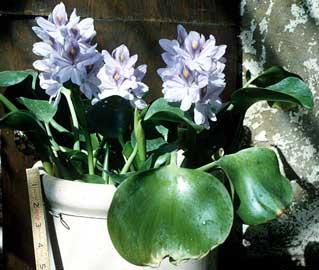Peces y plantas ornamentales eichhornia crassipes for Matas ornamentales