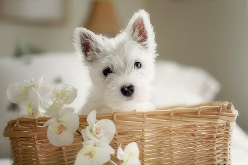The Most Adorable Westie You'll Ever See... EVER. | Happy ...