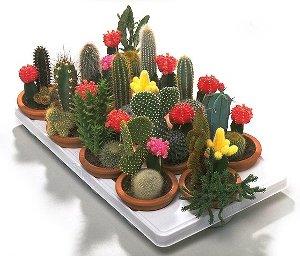 Info flores los cactus flores suculentas for Variedades de cactus
