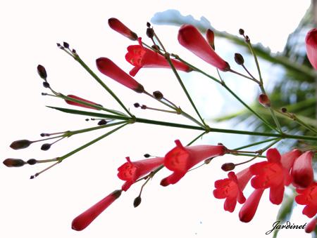 Inflorescência da flor de coral