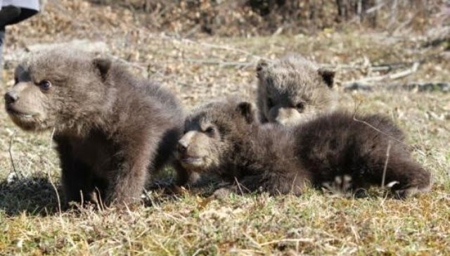 Three Little Rescued Bears Feel The Forest Floor For The First Time (VIDEO)