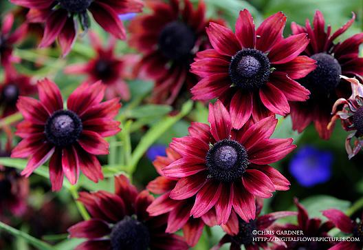 Digital Flower Picturescom Cherry Brandy Blackeyed Susan